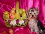 Собаки, щенята Йоркширський тер'єр, ціна 13000 Грн., Фото