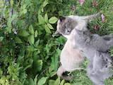 Кішки, кошенята Британська короткошерста, ціна 700 Грн., Фото