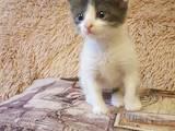 Кішки, кошенята Безпорідна, ціна 11 Грн., Фото