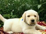 Собаки, щенята Лабрадор ретрівер, ціна 1 Грн., Фото