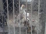 Собаки, щенки Западно-Сибирская лайка, цена 1004 Грн., Фото
