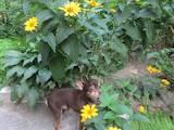 Собаки, щенята Спаровування, ціна 700 Грн., Фото
