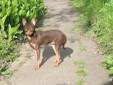 Собаки, щенки Русский гладкошерстный тойтерьер, цена 7000 Грн., Фото