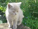 Кошки, котята Британская короткошерстная, цена 600 Грн., Фото