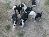 Собаки, щенки Американский стаффордширский терьер, цена 1800 Грн., Фото