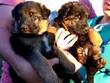 Собаки, щенки Немецкая овчарка, цена 2000 Грн., Фото