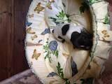 Собаки, щенята Німецька гладкошерста лягава, ціна 21000 Грн., Фото