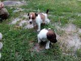 Собаки, щенята Гладкошерста фокстер'єр, ціна 1200 Грн., Фото