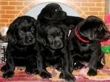 Собаки, щенки Лабрадор ретривер, цена 2600 Грн., Фото