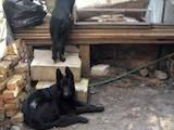 Собаки, щенки Немецкая овчарка, цена 2500 Грн., Фото