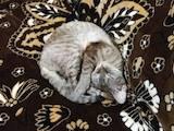 Кошки, котята Девон-рекс, цена 1000 Грн., Фото