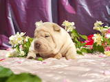 Собаки, щенки Шарпей, цена 13000 Грн., Фото