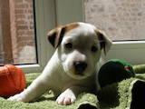 Собаки, щенки Джек Рассел терьер, цена 9500 Грн., Фото