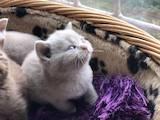 Кішки, кошенята Британська короткошерста, ціна 10500 Грн., Фото