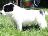 Собаки, щенки Среднеазиатская овчарка, цена 600 Грн., Фото