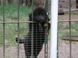 Собаки, щенята Ньюфаундленд, ціна 4200 Грн., Фото