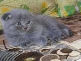 Кошки, котята Шотландская вислоухая, цена 450 Грн., Фото