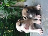Собаки, щенки Стаффордширский бультерьер, цена 3000 Грн., Фото