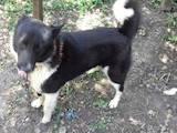 Собаки, щенки Русско-Европейская лайка, цена 50 Грн., Фото