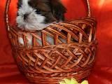 Собаки, щенки Ши-тцу, цена 3800 Грн., Фото