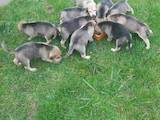 Собаки, щенки Разное, цена 1200 Грн., Фото