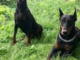 Собаки, щенята Доберман, ціна 2900 Грн., Фото