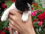 Собаки, щенки Французский бульдог, цена 8000 Грн., Фото