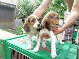 Собаки, щенки Эстонская гончая, цена 1300 Грн., Фото