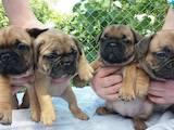 Собаки, щенки Французский бульдог, цена 600 Грн., Фото