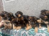 Собаки, щенки Немецкая овчарка, цена 5200 Грн., Фото
