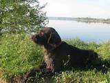 Собаки, щенята Німецька жорсткошерста лягава, ціна 7000 Грн., Фото