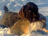 Собаки, щенята Різне, ціна 12500 Грн., Фото