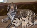 Собаки, щенки Немецкая гладкошерстная легавая, цена 13500 Грн., Фото