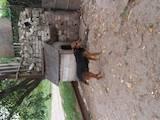 Собаки, щенята Ягдтер'єр, ціна 600 Грн., Фото