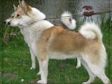 Собаки, щенки Западно-Сибирская лайка, цена 2700 Грн., Фото