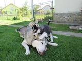 Собаки, щенята Сибірський хаськи, ціна 2700 Грн., Фото
