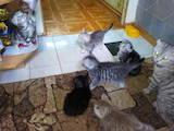 Кішки, кошенята Британська короткошерста, ціна 500 Грн., Фото
