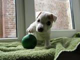 Собаки, щенята Джек Рассел тер'єр, ціна 9000 Грн., Фото