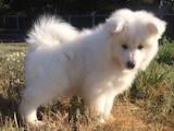 Собаки, щенята Самоїдом, ціна 15000 Грн., Фото