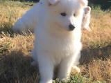 Собаки, щенки Самоед, цена 15000 Грн., Фото