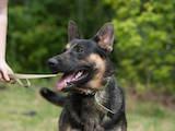 Собаки, щенята Німецька вівчарка, ціна 10 Грн., Фото