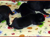 Собаки, щенки Кане Корсо, цена 26000 Грн., Фото