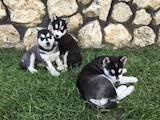 Собаки, щенята Сибірський хаськи, ціна 3103 Грн., Фото