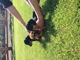Собаки, щенки Гладкошерстная такса, цена 5000 Грн., Фото