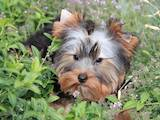 Собаки, щенята Йоркширський тер'єр, ціна 4000 Грн., Фото