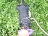 Собаки, щенки Ягдтерьер, цена 1400 Грн., Фото