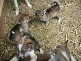 Собаки, щенки Западно-Сибирская лайка, цена 300 Грн., Фото