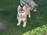 Собаки, щенки Сибирский хаски, цена 2700 Грн., Фото