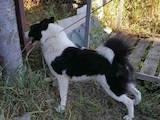 Собаки, щенки Русско-Европейская лайка, цена 3000 Грн., Фото