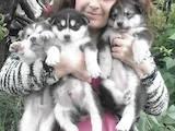 Собаки, щенки Аляскинский маламут, цена 2700 Грн., Фото
